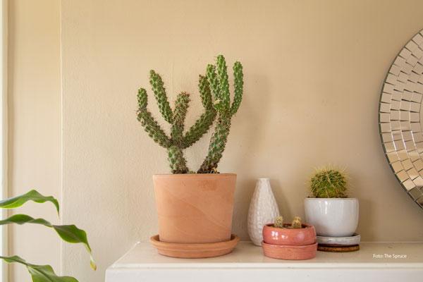 Kaktus Cholla