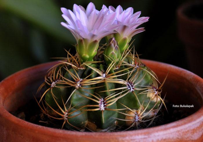 Kaktus Dagu atau Gymnocalycium Mihanovichii