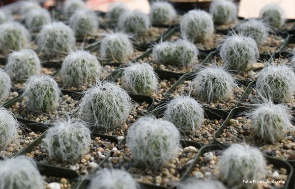Kaktus Uban atau Cephalocereus Senilis