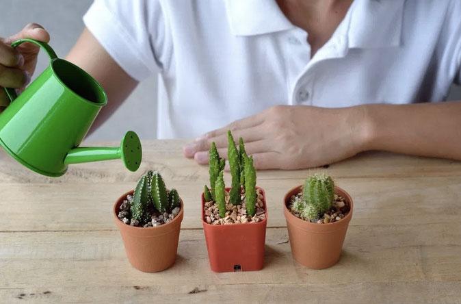 Perawatan Kaktus Mini