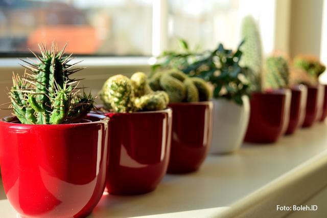 Tanaman Kaktus Mini