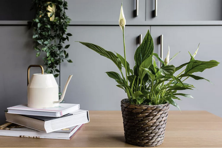 Tanaman Indoor, Peace Lily